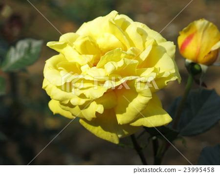 Solidor (rose) 23995458
