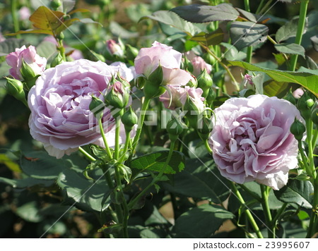 Shinobu (Rose) 23995607