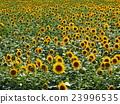 Sunflower field 23996535