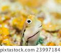 水下照片 八重山鲶鱼 浅斑梳齿粘鱼 23997184