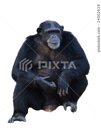 chimpanzee 24002619