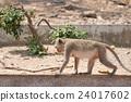 动物 哺乳动物 猴子 24017602