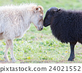 Black and white sheep on pasture 24021552