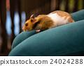Cute hamster 24024288