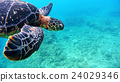 Underwater photography of Okinawa Akajima with sea turtle 24029346