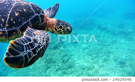 Underwater photography of Okinawa Akajima with sea turtle 24029346