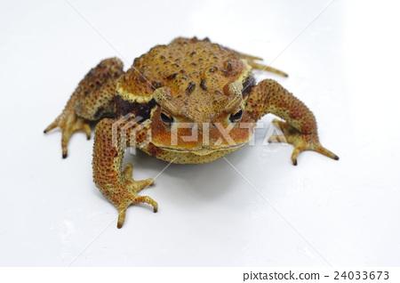니혼 두꺼비 (일본 蟇蛙) 두꺼비 일본의 개구리의 대표격 분비하는 독은 두꺼비 기름의 어원 24033673