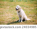 White Yellow Labrador Retriever Dog, Ajar Jaws 24034985