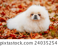 White Pekingese Pekinese Peke Whelp Puppy Dog 24035254