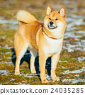 Beautiful Red Shiba Inu Puppy Dog Staying Outdoor 24035285
