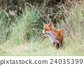 an red fox 24035399