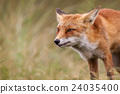 an red fox 24035400