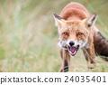 an red fox 24035401