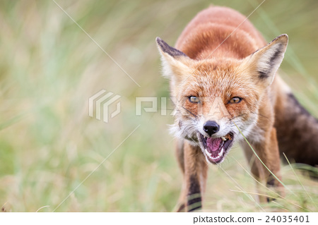 an red fox 24035401