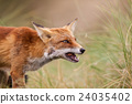 an red fox 24035402