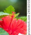 槿 盛開 開花 24038350