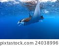 魟魚 光線 黃貂魚 24038996