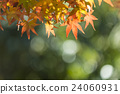 maple, yellow, leafe 24060931