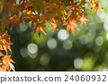 maple, yellow, leafe 24060932