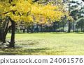 银杏 银杏树 公园 24061576