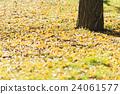 银杏 银杏树 落叶 24061577