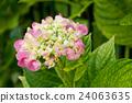 closeup of pink hortensia in a garden 24063635