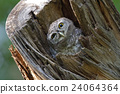 Spotted owlet Athene brama Bird in tree hollow 24064364