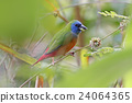 Pin-tailed Parrotfinch Birds of Thailand 24064365