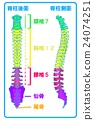 Spinal column (posterior aspect) 24074251