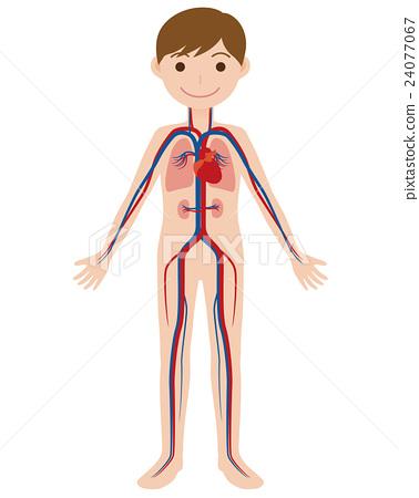 인체 모델과 혈관의 구조도 24077067