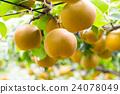 ลูกแพร์,ฤดูใบไม้ร่วง,ผลไม้ 24078049