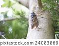 large brown cicada, cicada, gleam 24083869
