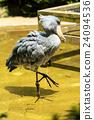 上野動物園 鵜形目 鯨頭鸛 24094536