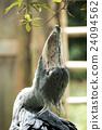 ueno zoo, pelecanidae, fowls 24094562