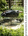 ueno zoo, pelecanidae, fowls 24094566