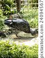 ueno zoo, pelecanidae, fowls 24094567