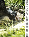 ueno zoo, pelecanidae, fowls 24094568
