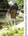 上野动物园 鹈形目 鲸头鹳 24094570