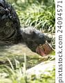 ueno zoo, pelecanidae, fowls 24094571