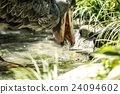 ueno zoo, pelecanidae, fowls 24094602