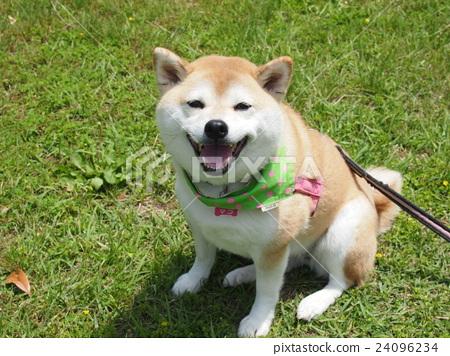 dog, dogs, Shiba 24096234