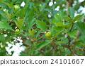 玫瑰 玫瑰花 落叶灌木 24101667