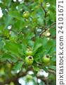 玫瑰 玫瑰花 落叶灌木 24101671