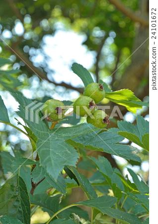 장미과, 낙엽관목, 수목 24101672