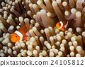 Clow Anemone Fish 24105812