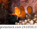 Clow Anemone Fish 24105813