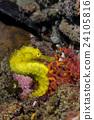 A Yellow Seahorse 24105816