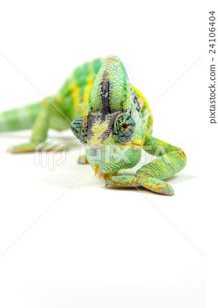 Yemen chameleon on white background 24106404