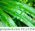 녹색, 잎, 식물 24113356