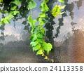 담쟁이덩굴, 녹색, 잎 24113358